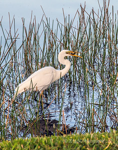 White Egret Catching Breakfast