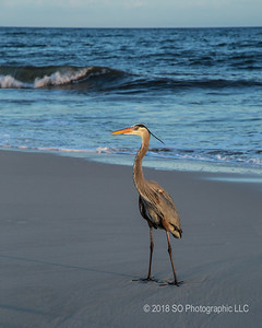 Blue Heron at Gulf Shores
