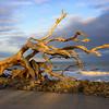 Driftwood Golden Hour
