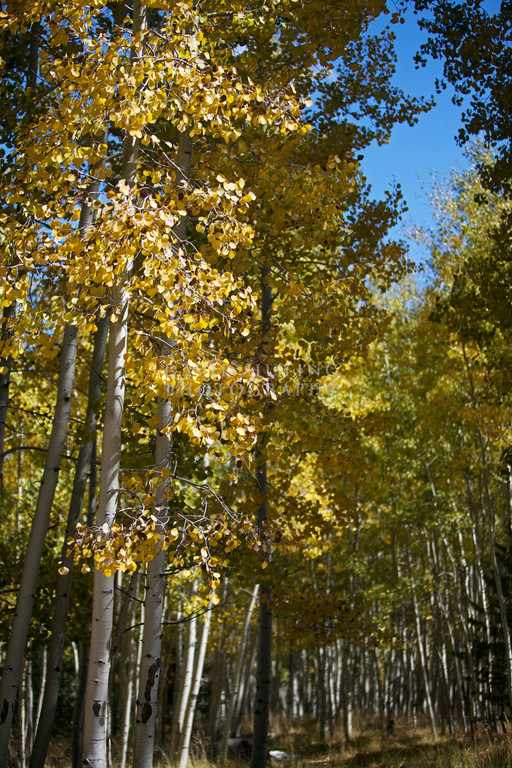 Thin Aspens Trail View Vertical