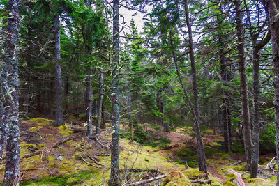 Beautifuk wooded forest @ Bass Harbor