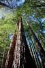 Giant Redwood - Fisheye View<br /> Muir Woods, CA