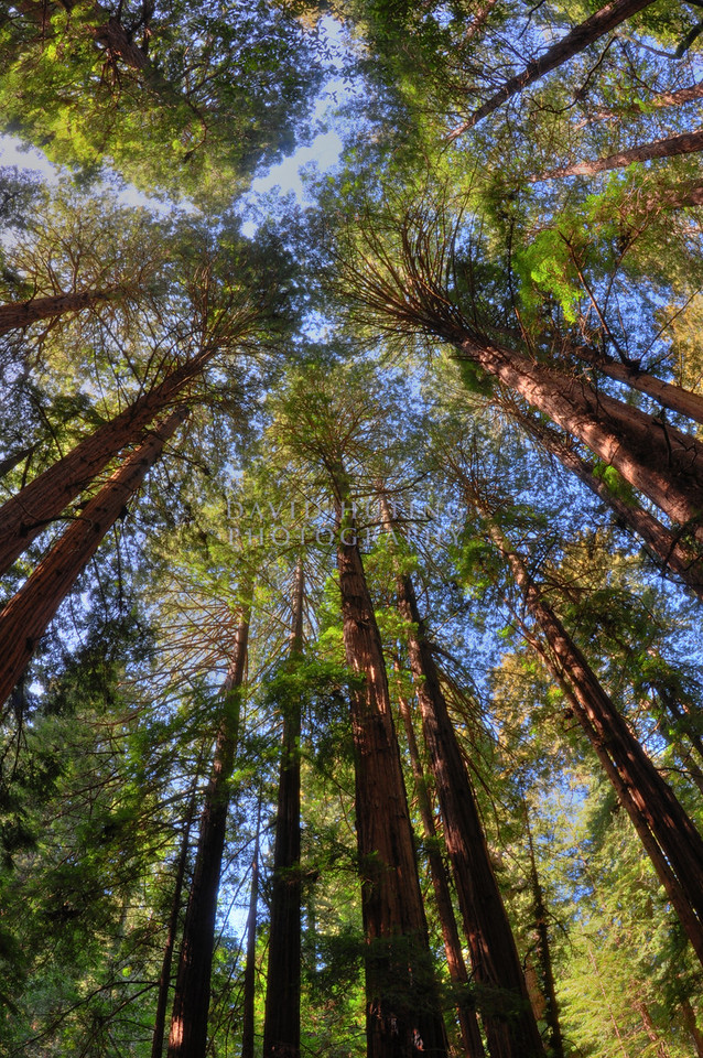 Fisheye Redwood Forest View<br /> Muir Woods, CA