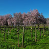 Springtime Napa VIneyard View