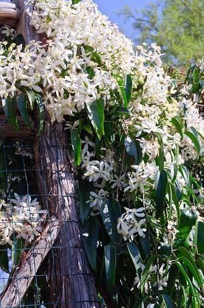 Clematis at Dallas Arboretum