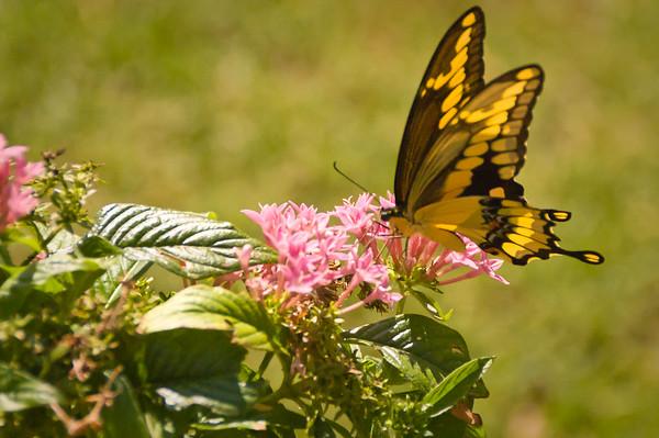 Monarch Butterfly, Dallas Arboretum
