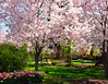 Flowering Peach Trees, Dallas Arboretum
