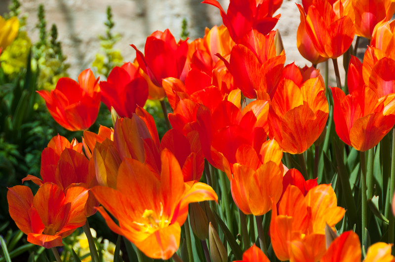 Tulips, Dallas Arboretum