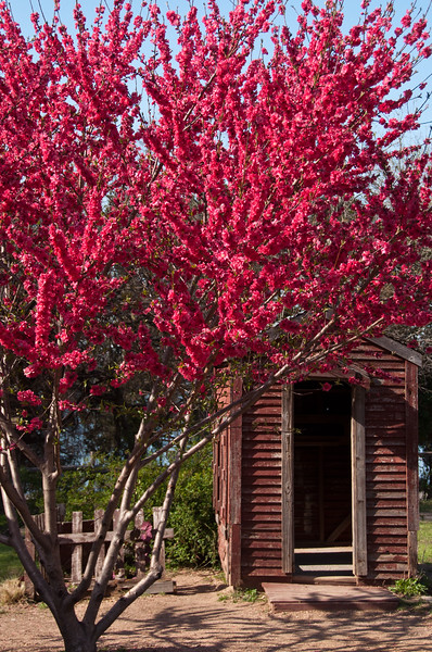 "Flowering Peach Tree Prunus persica ""Red Baron"" at Dallas Arboretum"