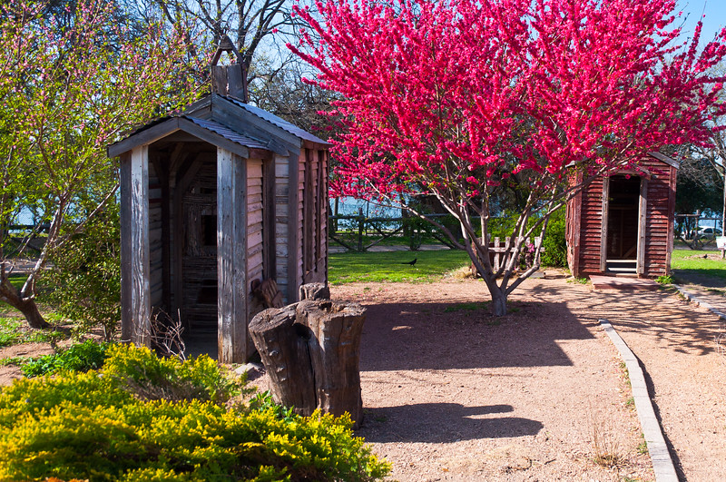 "Flowering Peach Tree Prunus persica ""Red Baron"" at Dallas Arboretum in Texas Town area"