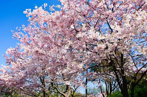 Flowering Peach Trees, Dallas Arboretum