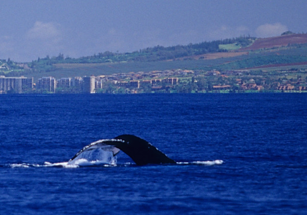 Humpback Whale, Pacific Ocean, Maui Hawaii