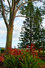 Hawaiian Trees at Dole Plantation
