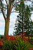 Hawaiian Trees at Dole Plantation