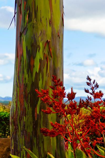 Hawaiian Tree at Dole Plantation