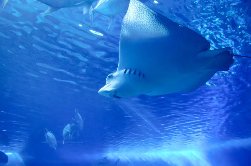 Man Ray, Waikiki Aquarium, Honolulu, Hawaii