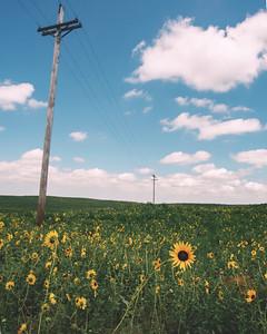 Dodge City Sunflowe