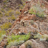 Long Horn Sheep on the banks of the Colorado