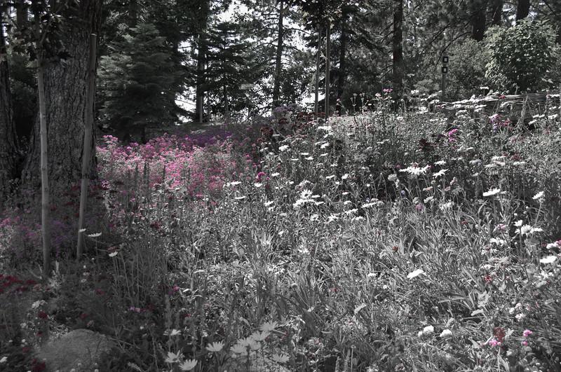 Spring Flowers, North Shore, Lake Tahoe, NV