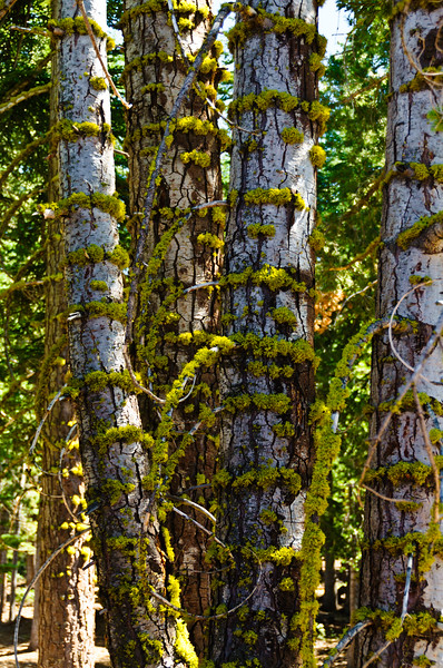 Trees at Northstar ski resort, summertime