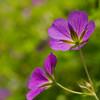 Purple flower macro
