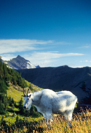 Mountain Goats on Logan Pass, Glacier National Park, Montana, US