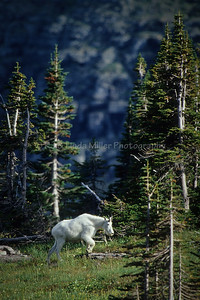 Mountain Goats on Logan Pass, Glacier National Park, Montana, US