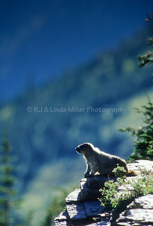 Hoary Marmot on Overlook, Glacier National Park, Montana, US