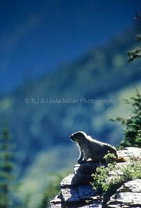 Hoary Marmot on Overlook, Glacier National Park, Montana, US