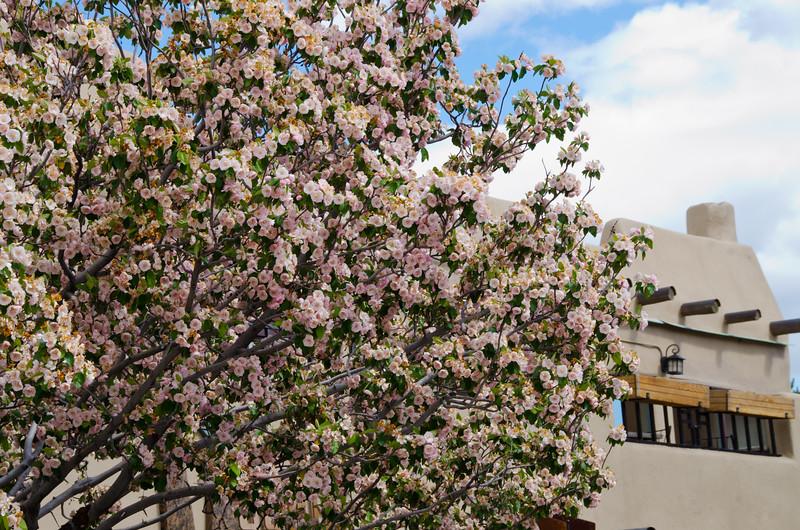 Cherry Tree in Bloom, Taos, NM