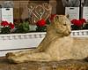 Cougar Statue on Santa Fe Street