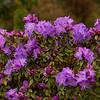 Purple Rhododendron at Oregon Gardens, Silverton