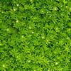 Sweet Woodruff - Galium odoratum, Oregon Gardens, Silverton