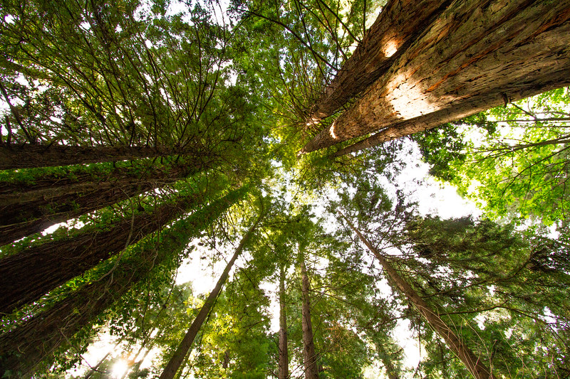 Tall trees of the Californian Redwood Forest
