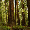 The Tall Tree, Giant Redwoods, Oregon