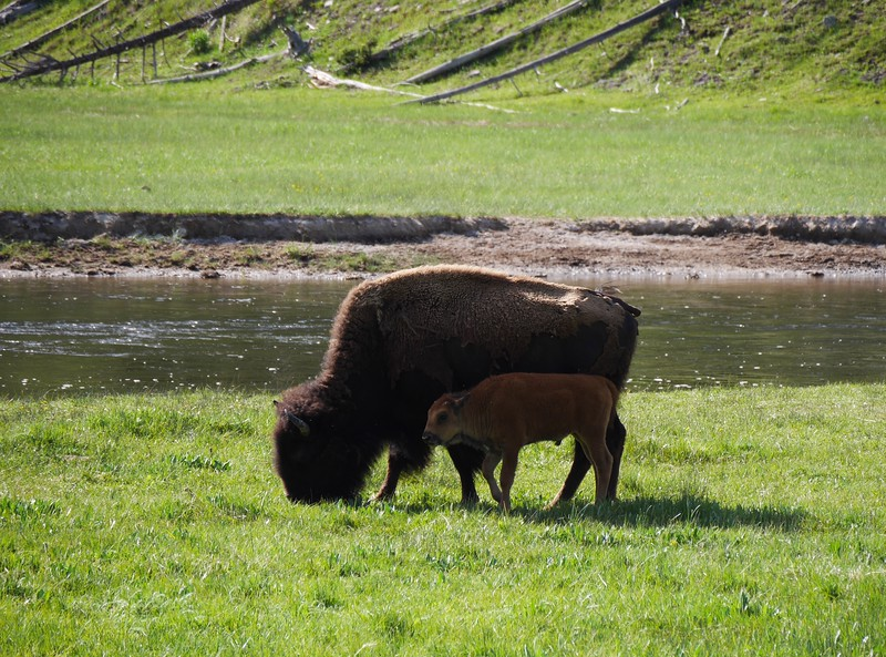 Bison: Yellowstone