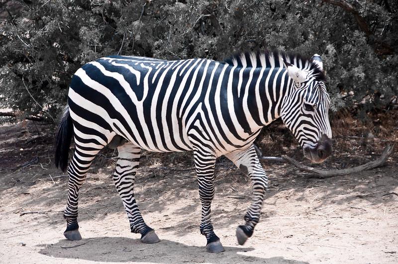 Zebra Out of Africa Wildlife Park, near Sedona AZ