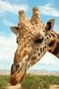 Giraffe Out of Africa Wildlife Park, near Sedona AZ