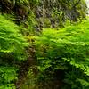 Ferns at Silver Falls hiking trails