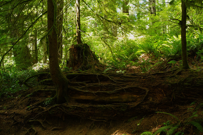 Exposed tree roots at Silver Falls State park, Oregon