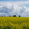 Canola Farm near Silverton, Oregon