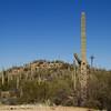 Saguaro growing in the desert, Arizona
