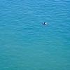 Haro Strait Killer Whale