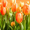 Apricot tulips at the Woodburn Tulip Farm, Oregon