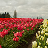 Woodburn Tulip Farm, Oregon