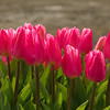 Pink tulips at the Woodburn Tulip Farm, Oregon