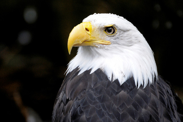 Captive bald eagle, Ketchikan, Alaska