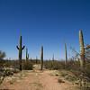 Suagaro cactus growing in the desert, Arizona
