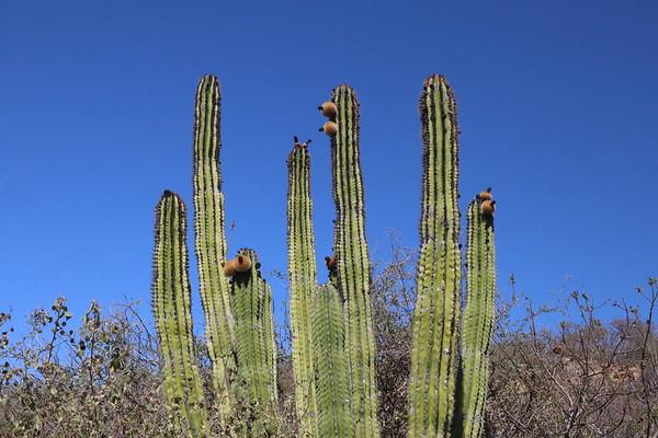 Flowering cardon cactus