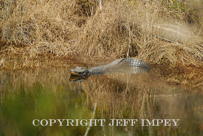 American alligator laying in the sun taken on the Gulf Coast in Mississippi.